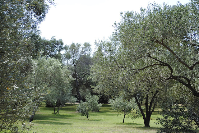 Olive Grove, Lockrum Island, Croatia