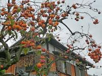 柿の実が枝が折れるように垂れ下がっていた。