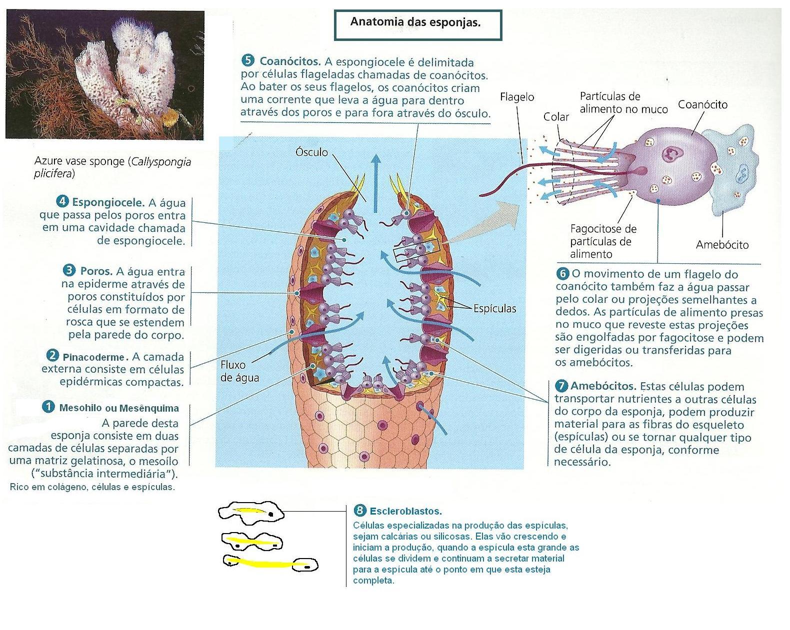 BIOLOGIA - CIÊNCIA DA VIDA: FILO PORÍFERA (PORÍFEROS OU ESPONGIÁRIOS)