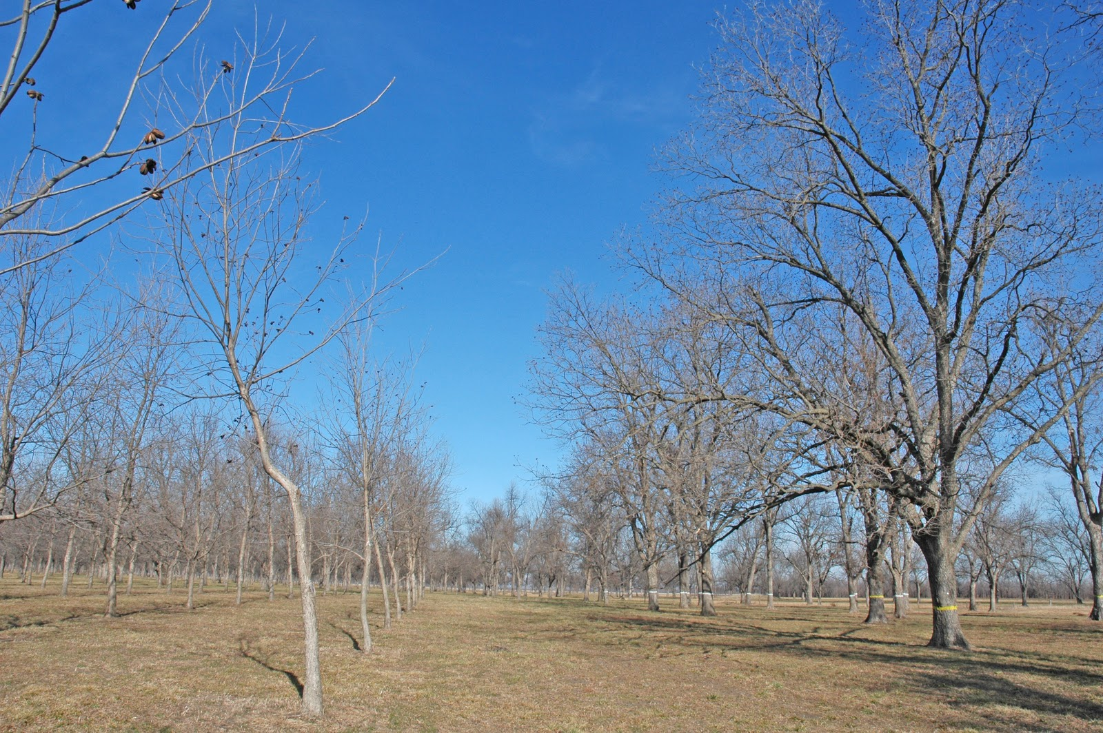 It is easy to find recommendations for spacing pecan trees in a new pecan ...