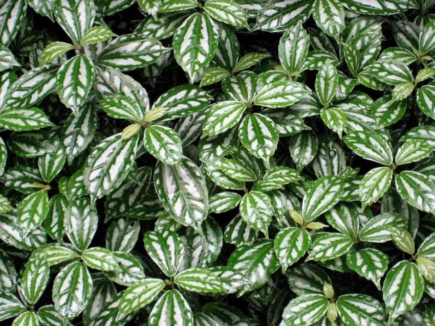 Plantas Ornamentais & Paisagismo  Desde 1924 Plantas para Forração