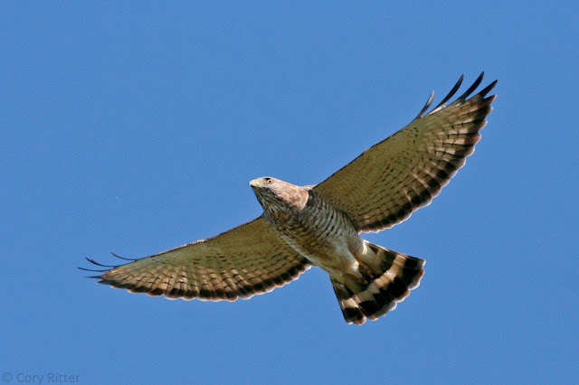 Broad-winged Hawk Ridge