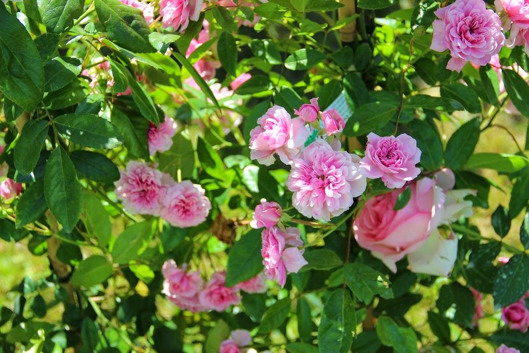 derri re les murs de mon jardin l automne des nouveaux rosiers 2. Black Bedroom Furniture Sets. Home Design Ideas