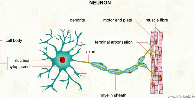 Secangkir hujan makalah sistem saraf gambar 1 neuron ccuart Choice Image