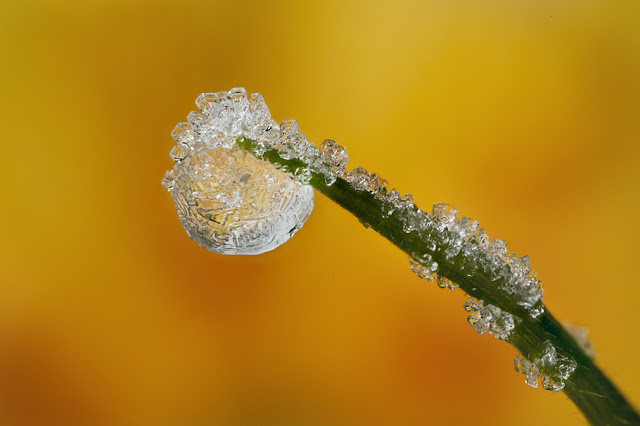 FROSTED+DEWDROP+2012++%25234.jpg
