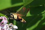 A Clearwing Hummingbird Moth on my butterfly blog