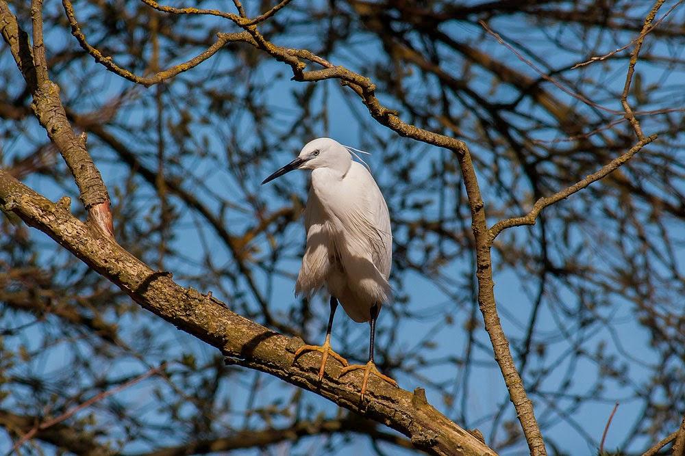 Little Egret - Bradwell Village, Milton Keynes