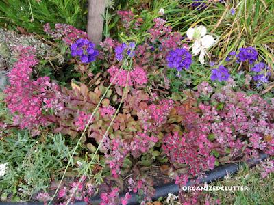 Cottage Garden - Vera Jameson Sedum