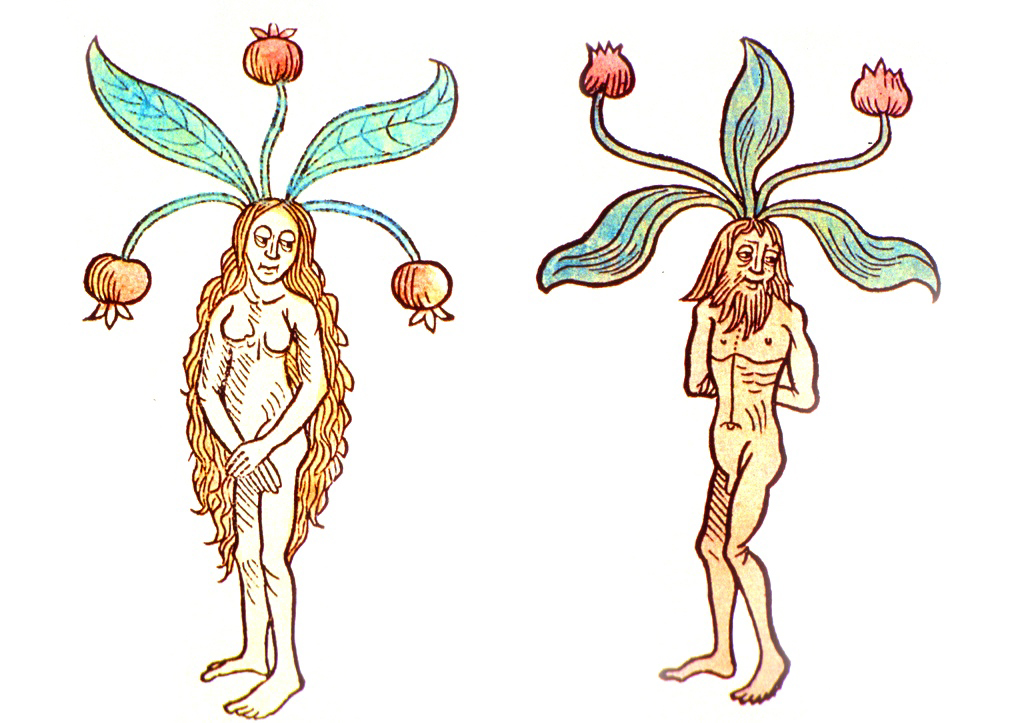 mandrake illustration, color, male and female