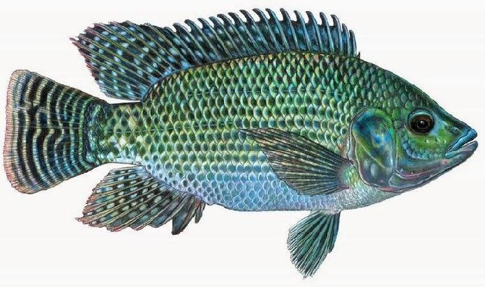 umpan ikan mujair danau,teknik memancing ikan mujair,umpan mancing mujaer,umpan ikan nila,pemancingan mujair,umpan ikan mujair nila,umpan ikan mujair di sungai,umpan ikan mujair di empang,