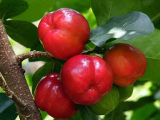 buah-barbados-cherry.jpg