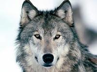 «Είναι λύκος της  στέπας...»