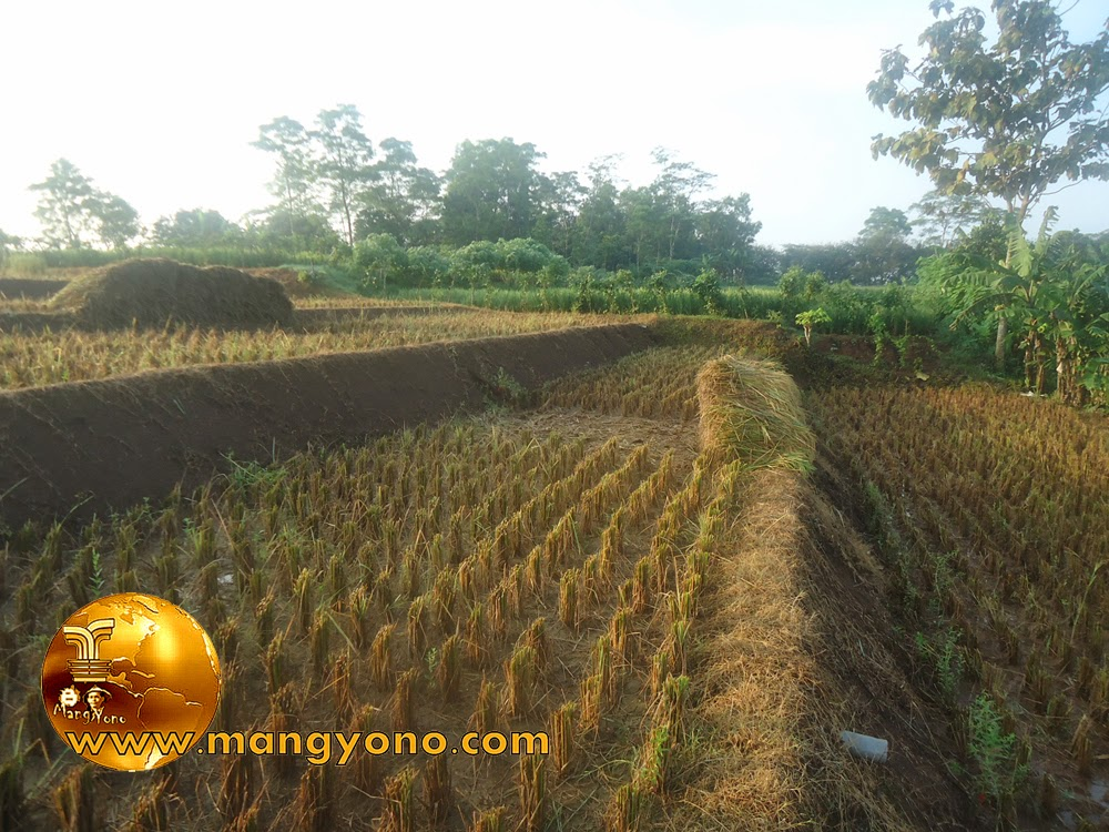 FOTO : Panen padi 8 – Tanaman padi di sawah saya yang sudah selesai dipotong