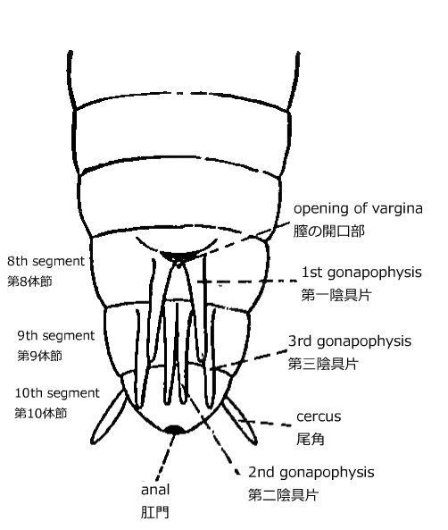 ... abdominal segments of a female insect and early stage in development