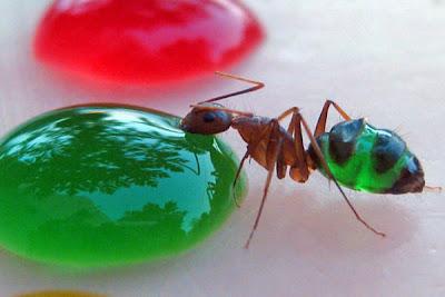hormiga tomando agua azucarada de color verde