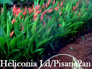 Heliconia lady day plant