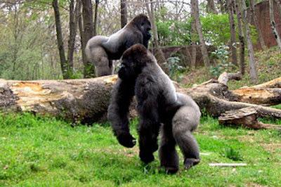 Gambar Bagus Gorilla