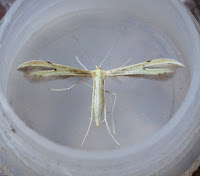 Latest New Micro Moth Species - Hellinsia carphodactyla