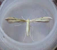 Latest New Micro Moth Species - Hellinsia carphodactyla