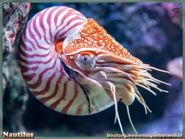gambar binatang dari huruf N nautilus