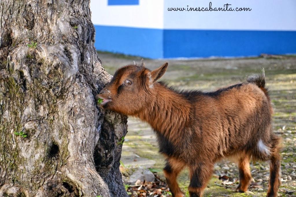 Cabra anã - quinta farm