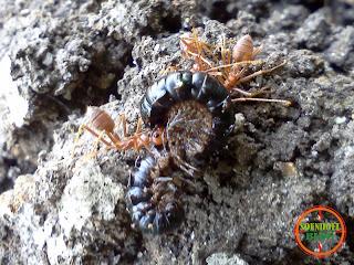 Semut Ngangkrang VS Kaki Seribu