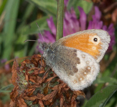 Small Heath butterfly, Coenonymlha pampilus.  Orpington Field Club visit to Lullingstone Country Park.  13 August 2011.