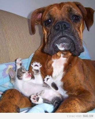 gatinho filhote brincando no colo de um cachorro, cão e gato, como cão e gato, cat and dog, friends, meme
