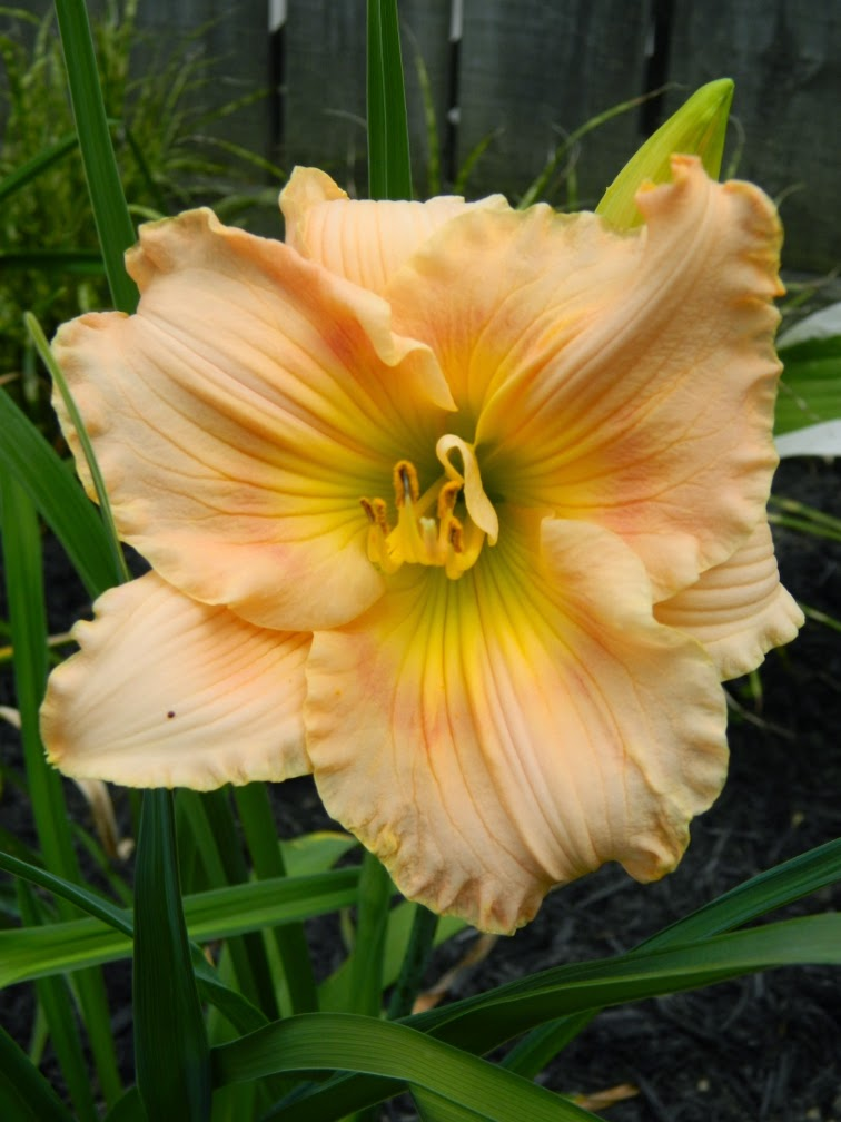 Fairy Tale Pink Hemerocallis daylily by garden muses-not another Toronto gardening blog