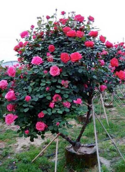 Theo người bán, Tree rose có cả hàng của Anh, Thái Lan nhưng bán ở Việt Nam thì được nhập chủ yếu từ Trung Quốc