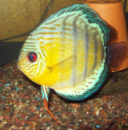 discus animal fish discus green discus green fish tropical discus ...