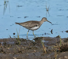 Solitary Sandpiper, Cape May