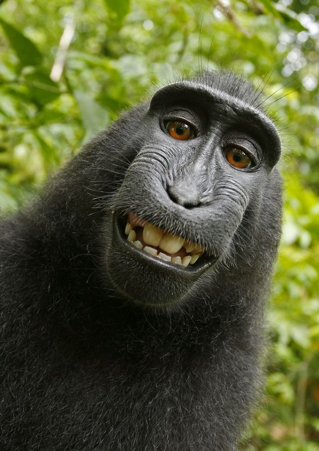 black_macaque