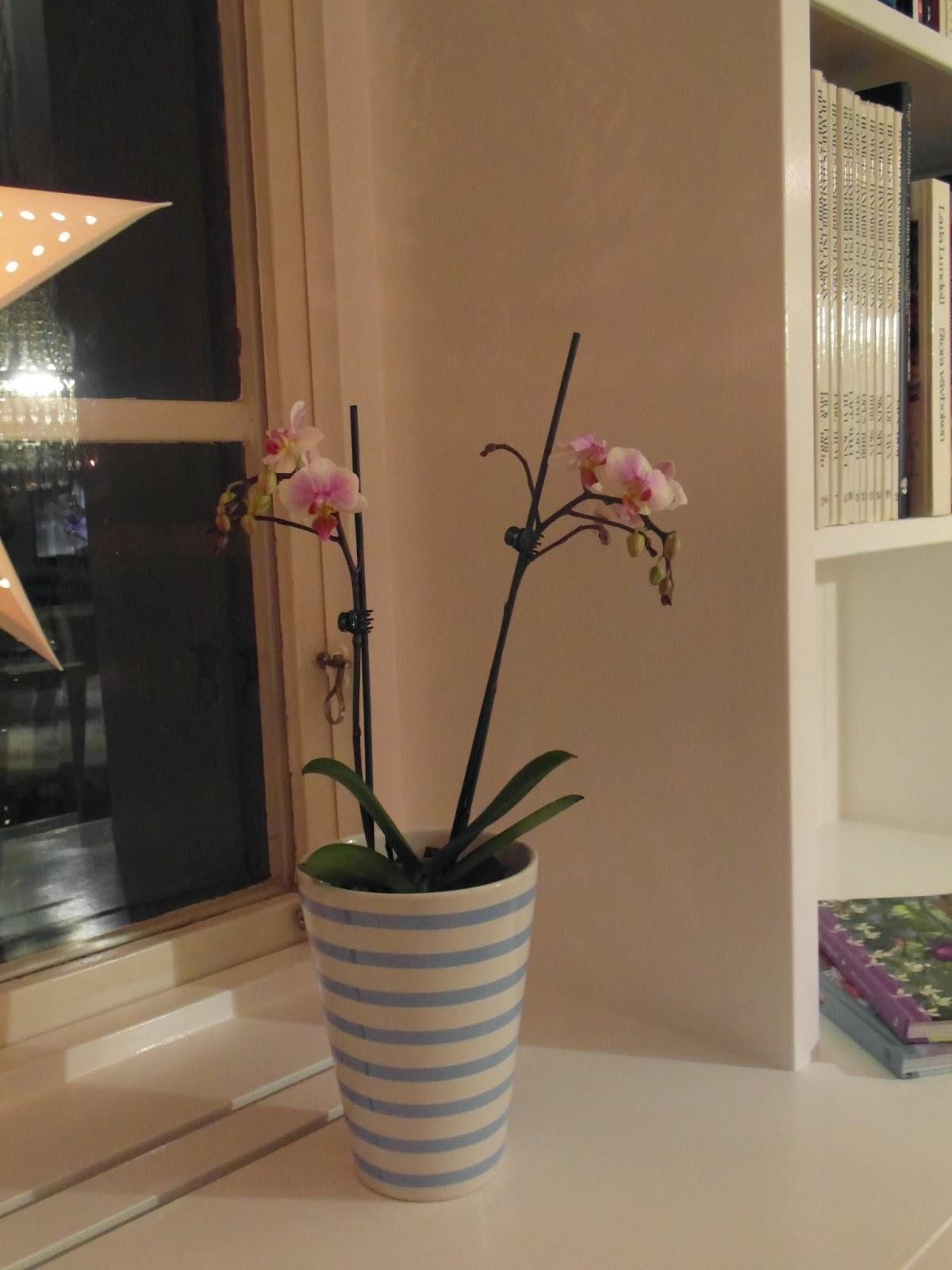 orkidé, kruka, julstjärna