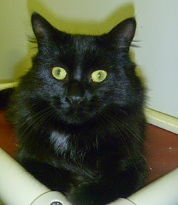 Onyx~ Beautiful 1 year old Black Medium Hair Boy!  Available for Adoption at the TLC Shelter!