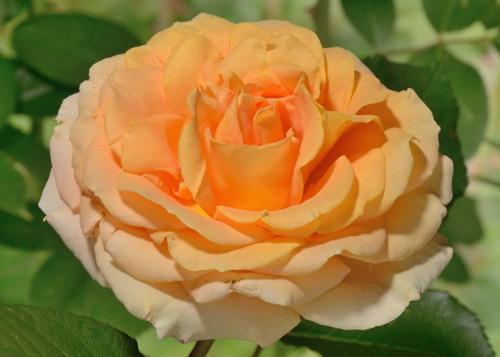 Cappuccino rose сорт розы фото