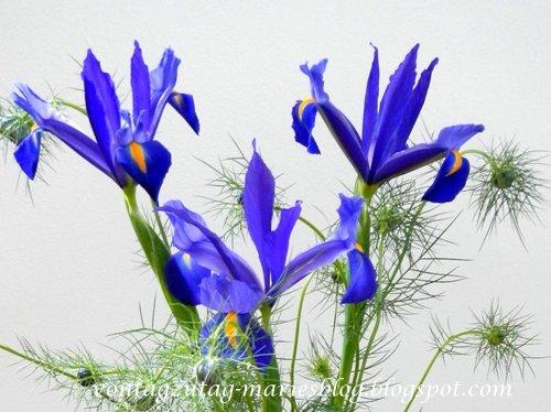 Iris und Jungfrau