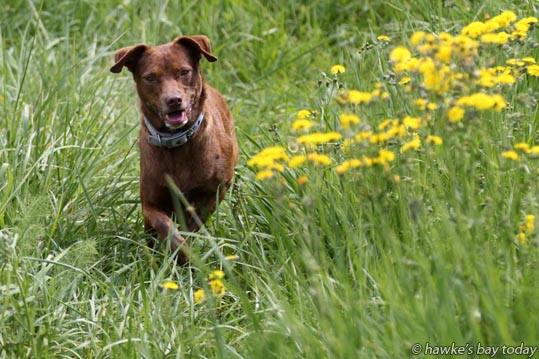 Lotti, dog owned by Jude Roberston, Ray Robertson, Havelock North, running amongst the yellow flowers along the walkway at Riverlands, Havelock North, in the mild, warm weather. photograph