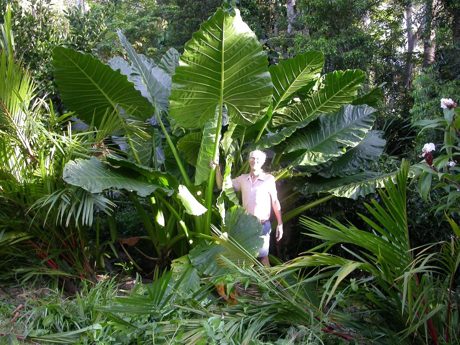 plantas jardim nordeste:Rota Mogiana: O inhame popular do Nordeste não é o mesmo inhame que