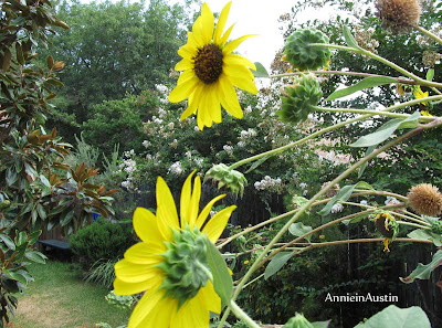 Annieinaustin, Sunflowers in July