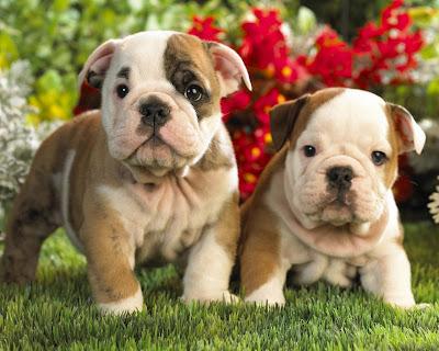Perros Bulldogs
