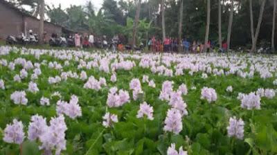 Keindahan Hamparan Bunga Enceng Gondok di Bantul www.guntara.com
