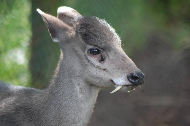 Fanged Tufted deer (Elaphodus cephalophus)
