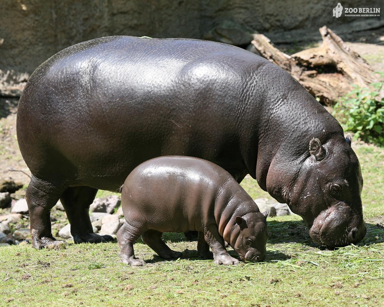 Hippopotamus Latest Profile And Pictures All Wildlife