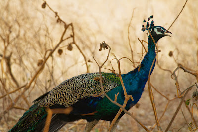A photograph of a Peacock taken in Yala, Sri Lanka