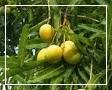 gambar manfaat buah mangga