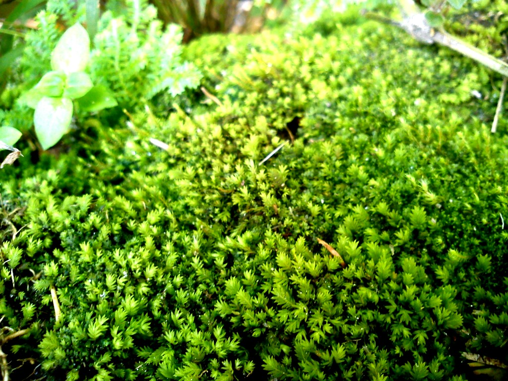 Mobile Photos : Lichen,Marchentia and Mosses