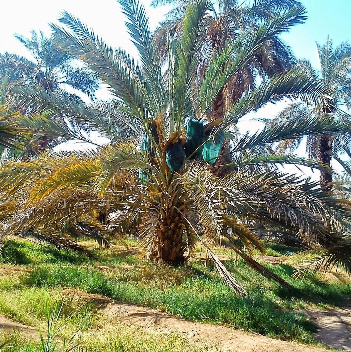 Gambar Pohon Kurma dan Manfaatnya