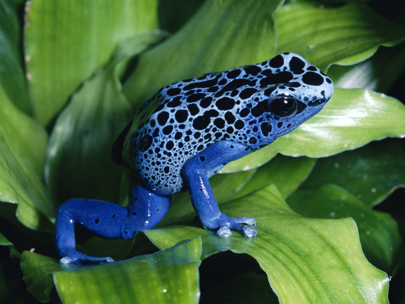 jaguar dan leopard with Amazing Poison Dart Frog Poison Frog on Liger Tiger Lion also Bengal Tiger together with E8 B1 B9 E5 AD 90 E5 9B BE E7 89 87 E5 A4 A7 E5 85 A8 together with South African Leopard in addition Tigre Vs Leao Atualizado Fatos Reais.