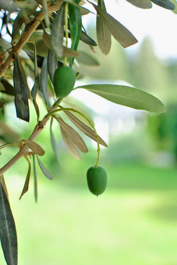 olivträd oliver